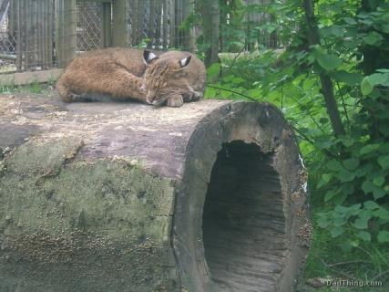 A Bobcat Sleeping At The Columbus Zoo