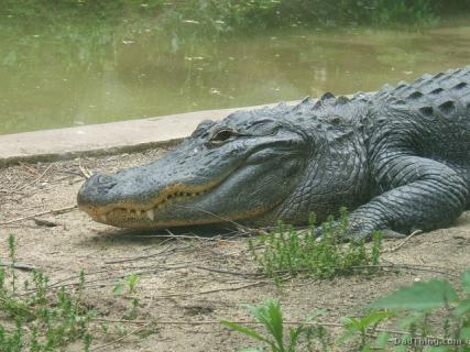 A Crocodile at the Columbus Zoo