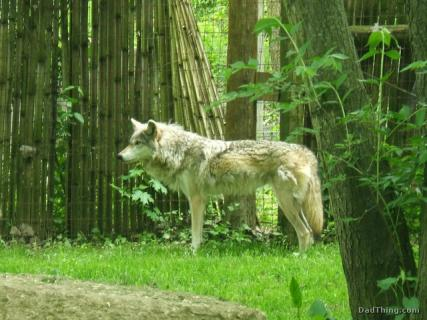 Mexican Wolf at the Columbus Zoo