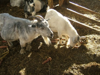 Circle S Farms - Goats