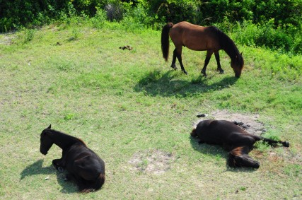 Outer Banks Wild Horses Sleeping